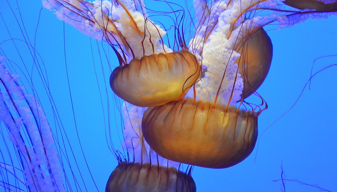 Méduse dans l'aquarium