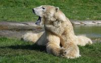 Oso polar en el zoológico