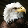 eagle webcam, eagl webcam