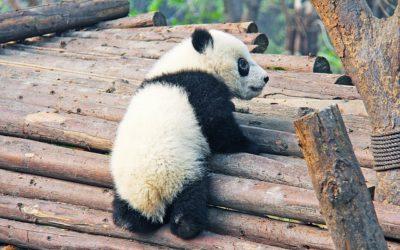 Panda grande - correr