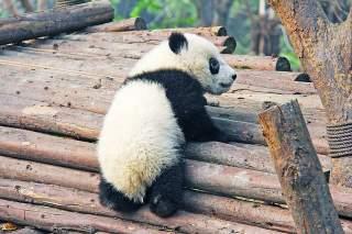 Panda velká  – výběh