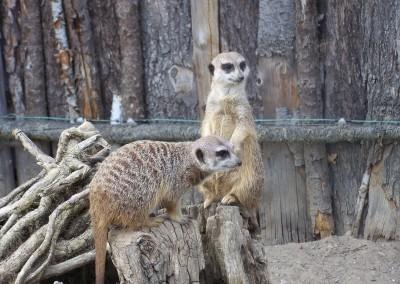 meerkat-1023518_1280