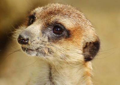 meerkat-1341800_1280