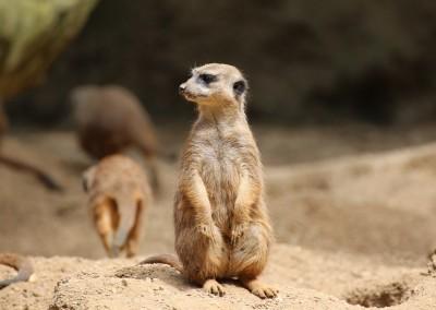 meerkat-1557437_1280