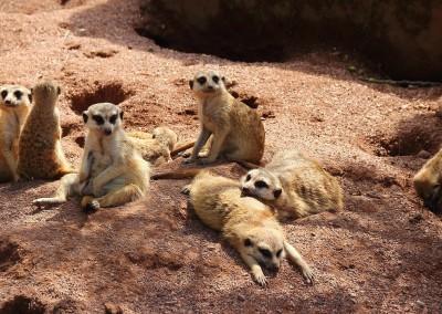 meerkat-408646_1280