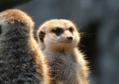 meerkat-417718_1280