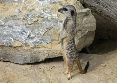 meerkat-438977_1280