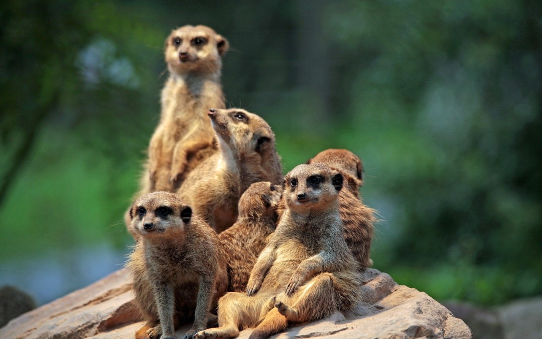 Surikatí výběh – ZOO[:en]Meerkat Web Cam Live from London ZOO