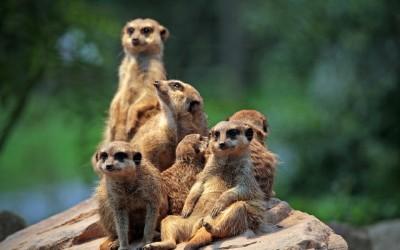 Zoo di Surikaty [: it] Meerkat Web Cam Live di London ZOO