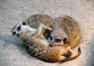 meerkat-786222_1280