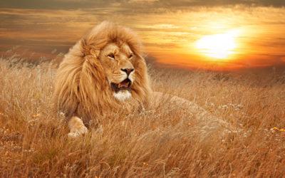 Lev ve výběhu v záchranné stanici