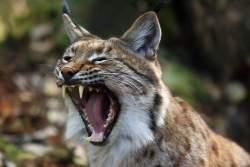 Rysí výběh[:en]Bobcat in zoo webcam