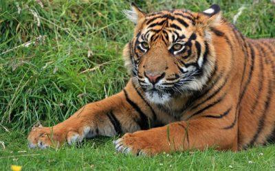 Tygří výběh v ZOO webkamera