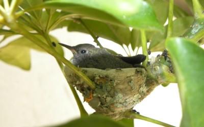 Hnízdo kolibříka webkamera