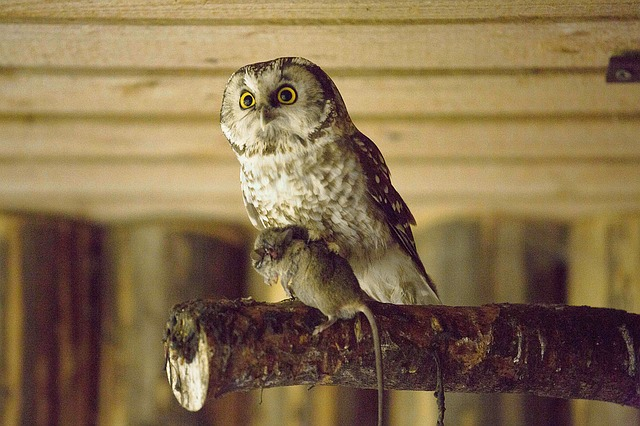 sova webkamera, owl webcam