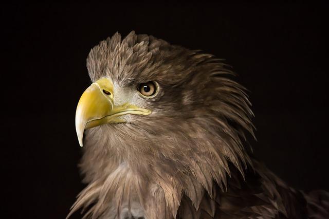 orel mořský webkamera eagle webcam