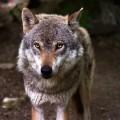 vlk dokumentární vilm