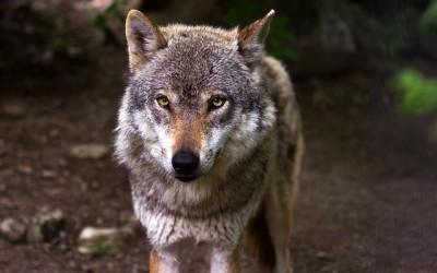 Divoký Yellowstone: Vlčice – dokumentární film[:en]Wild Yellowstone: She-wolf – documentary film[:de]Wilde Yellowstone : Weibchen Wölf – Dokumentarfilm[:fr]Yellowstone Wild: Femelle loup gris – film documentaire
