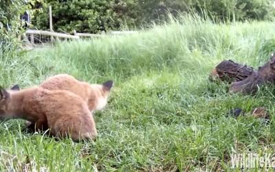 Lišky, jezevci webkamera
