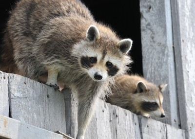 baby-raccoon-1056830_640