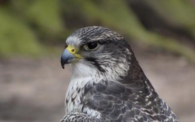 Káně lesní – webkamera[:en]Common buzzard – webcamera