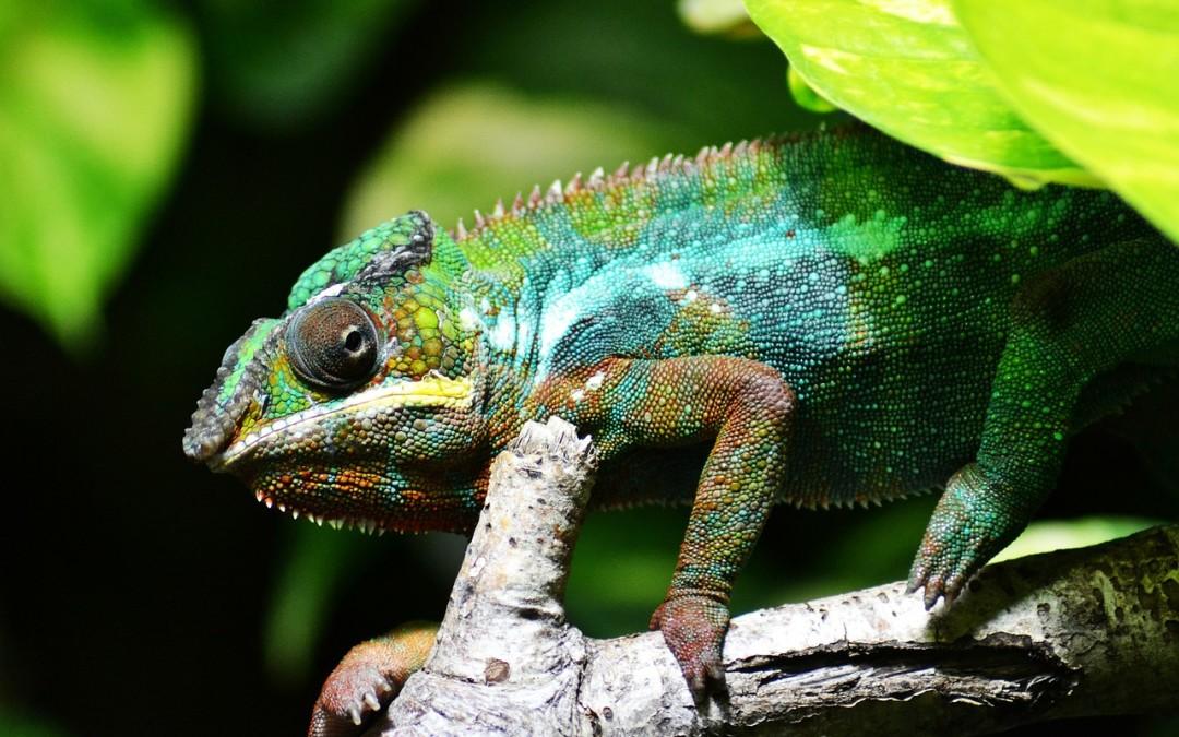 (Czech) Chameleoni – pouštní draci