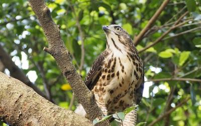 Jestřáb lesní – webkamera Lotyšsko