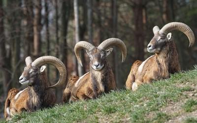 Výběh muflonů a daňku živě