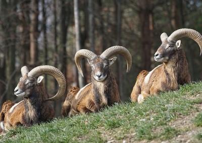 mouflon-1260937_640