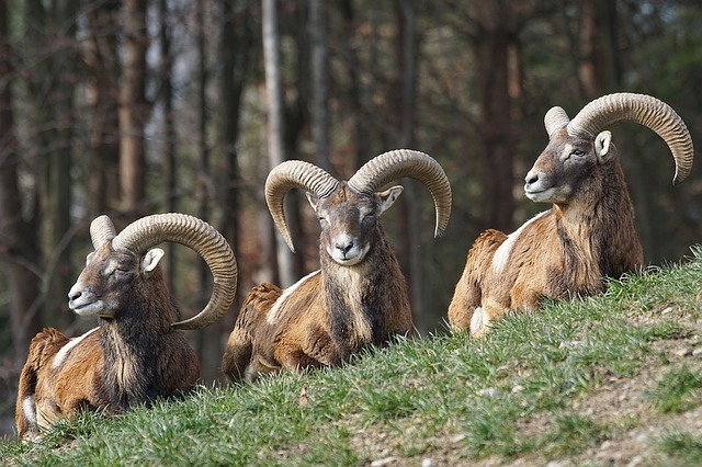 Running mouflon and scabbard alive