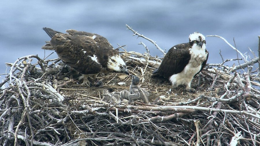 Osprey - webcam from nests in Estonia
