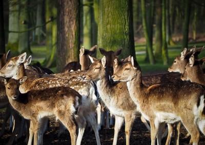 roe-deer-1229151_640