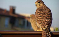 Poštolka obecná webkamera z hnízda