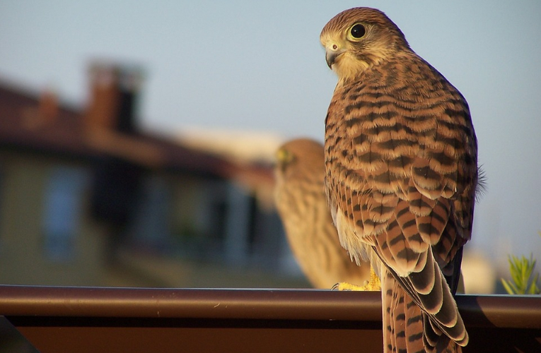 Common Kestrel webcam from nest