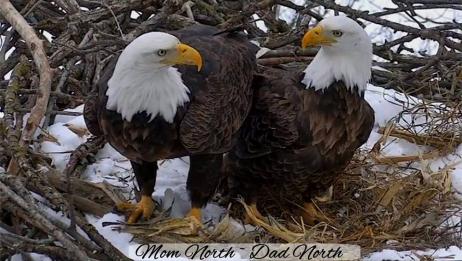 Video záznam Decorah 2016 Orel bělohlavý