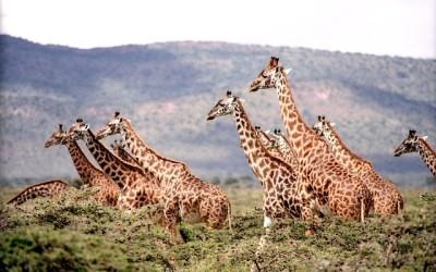 Safari živý přenos