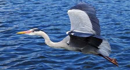 Volavka popelavá – webkamera z hnízda[:en]Gray heron – webcam from nest[:de]Graureiher – Kamera aus Nest[:fr]Héron cendré – caméra de nid