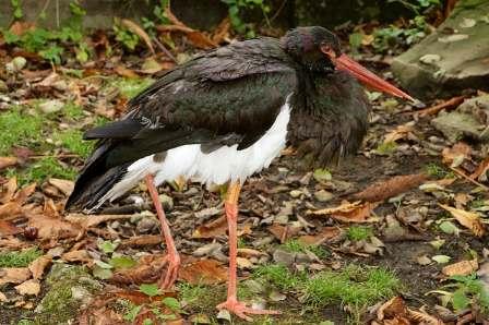 čáp černý black stork