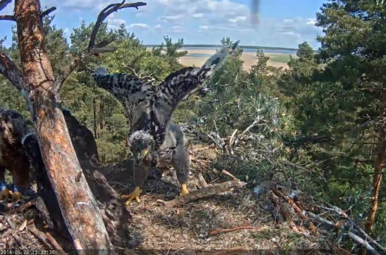 Nejmenší orlík zkouší, k čemu jsou křídla.