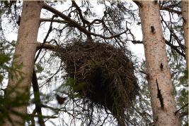 Hnízdo čápa černého v národním parku Karula v Estonsku[:en]Hnízdo[:de]Hnízdo[:fr]Hnízdo[:es]Hnízdo