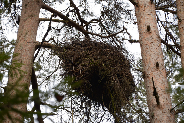 Hnízdo čápa černého v národním parku Karula v Estonsku