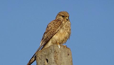 Poštolka obecná kamera z hnízda
