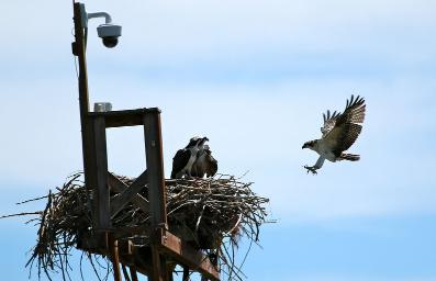 Hnízdo Orlovce v Coloradu