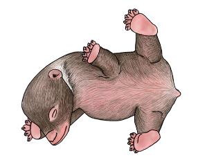 Ilustrace novorozeného mláděte medvěda hnědého.
