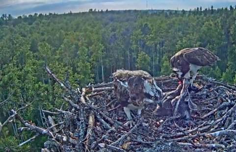 Sameček orlovce krmí mladé