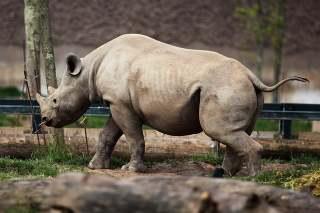Brote de rinoceronte y juvenil