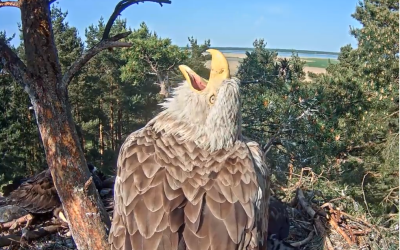 Eagle marine webcam from the nest