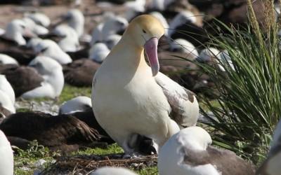 Albatros královský webkamera z hnízdění