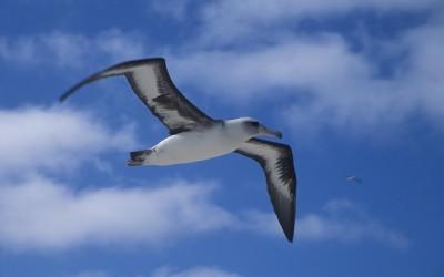 Albatros Laysanský  – webkamera z hnízda