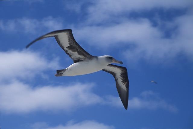 Albatros Laysanský  – webkamera z hnízda[:en]Laysan albatross webcamera from nest[:de]Laysanalbatros – Kamera aus Nest[:fr]Albatros de Laysan – webcam du nid